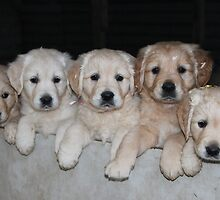 Golden Retriever puppies by Camuka by camuka