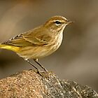 A Golden-Feathered Little Bird by Monte Morton