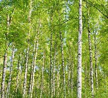 birch I by helveticaneue