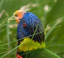 """Love My Greens"" - lorikeet loves the grass by John Hartung"