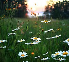 Field of Daisies and Wildflowers at Sunset by Geno Rugh