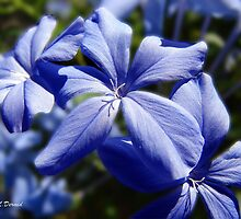 Blue Plumbago by ldermid75