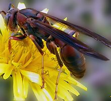 Red Wasp Gathering Pollen by ldermid75