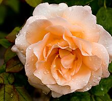 Rose 2 - Belmont Geelong by Graeme Buckland