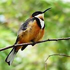 Young Eastern Spinebill by Meg Hart
