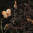 Dried Out Climbing Hydrangea  by Karen Martin