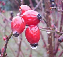 Winter Rosehips by nellie11