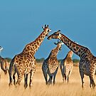 Giraffes&#x27; gathering by Konstantinos Arvanitopoulos