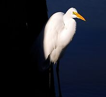 Egret Catching the Sun from the Shadows by imagetj