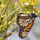 Monarch butterfly at honeymoon island by jozi1