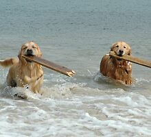 Golden Retrievers - retrieving sticks by Winksy
