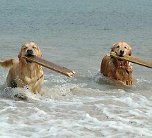 Golden Retrievers - retrieving sticks by Winksy