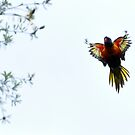 Lorikeet 4 by petejsmith