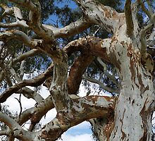 River Red Gum by Jane McDougall