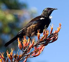 Tui - Northland NZ by Jenny Dean