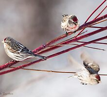Common Redpoll on dogwood by PixlPixi