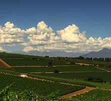 Cape Vineyards by Macky