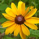 A little daisy to brighten your day by joedog