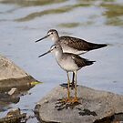 Pair of Lesser Yellow Legs.. by Larry Trupp