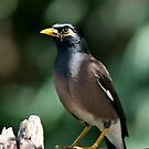 Pesky Indian Myna by Sue-Ellen Cordon