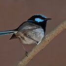 Superb Fairy Wren IV by Tom Newman
