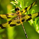 Calico Pennant (female) 3 by Brooke Winegardner