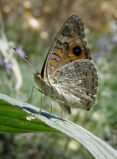 Meadow Argus Butterfly (Junonia villida) - Carrick Hill, South Australia by Dan & Emma Monceaux