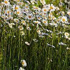 Ox Eye Daisies in a Suffolk orchard by Christopher Cullen