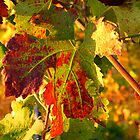 Grape Leaves - Tuscany Vineyard, Italy by ljroberts