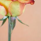 blossoming out rose with a drop of water by Tasha1111