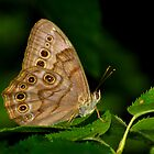 Northern Pearly Eye Resting Upon a Leaf by Robert Miesner