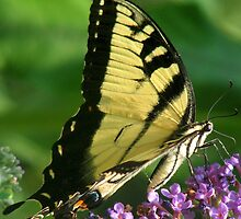 Eastern Tiger Swallowtail (Papilio glaucus) by David Brown