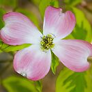 Pink Flowering Dogwood Blossom by Oscar Gutierrez