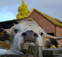 Highland Cow - Tilgate Farm by Kittyb