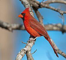 Majestic Mr. Redbird by Bonnie T.  Barry
