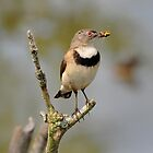 White Fronted Chat (Female) by Alwyn Simple
