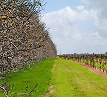 The Vineyard - Naracoorte, South Australia by Heather Samsa