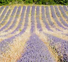 Lavender Row by pequot99