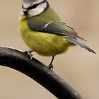 Blue Tit by MacsfieldImages