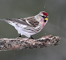 Out On A Limb / Common Redpoll Male by Gary Fairhead