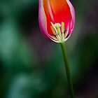Open-Hearted Tulip by Mark German