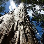Tall Tree - Lilydale Tasmania by RainbowWomanTas