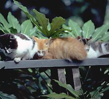 Country Calico  Kittens Napping in a Spot of Sun by Dave Anderson