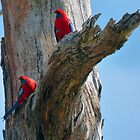 Rosellas by Jane  mcainsh