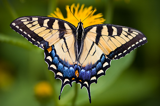 Tiger Swallowtail Butterfly by Oscar Gutierrez