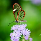 Clear Wing Butterfly   by Oscar Gutierrez