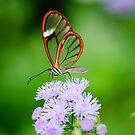 Clear Wing Butterfly   by Oscar Gutierrez