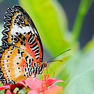 Maylay Lacewing Butterfly by Oscar Gutierrez