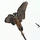 Northern Hawk Owl Landing On Its Perch by Bill McMullen