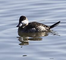 Ruddy Duck by Dennis Cheeseman